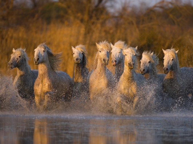 wild-horses-runninginwater