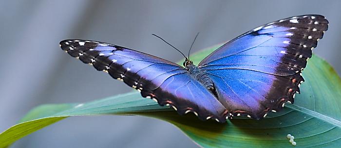 papillonbleu