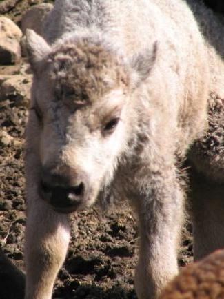 prophetie-du-bison-blanc